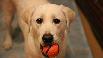 #一周热征#宠物# 铁齿铜牙小拉拉——献给拉布拉多的几款耐咬玩具