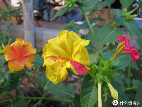 即使在同一植株上,也能见到紫茉莉多样的花色。图片:Vaikoovery / wikimedia