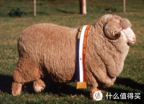 上图是澳大利亚某年羊毛大赛的冠军羊
