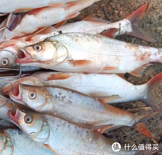 """河南一水库红尾鱼""""大爆发"""",钓鱼人:2小时钓了近30条"""